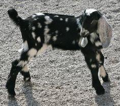 Nubian Goat baby... One day, I think I'm gonna have like twenty goats and twenty dogs and twenty cats.