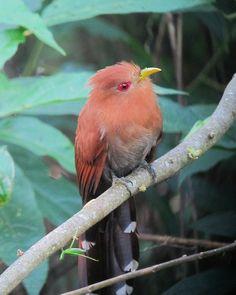 Coccycua minuta / Cuco ardilla chico / Little Cuckoo, Puerto Nariño, Amazonas, Colombia| Flickr - ©  Félix Uribe