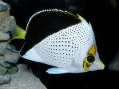 white and black fish
