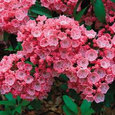 Carol Mountain Laurel (Kalmia latifolia 'Carol') | evergreen shrub with blooms in late Spring to early Summer. 3-1/2' to 5' high and wide. Zone 4-9