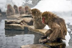 Among all primates only humans and Japanese macaques are living in the areas cold enough to be covered in snow for the whole winter. Primates, Mammals, Snow Monkeys, Japanese Macaque, Brown Bear, Animals Beautiful, Cool Photos, Concept, Cold