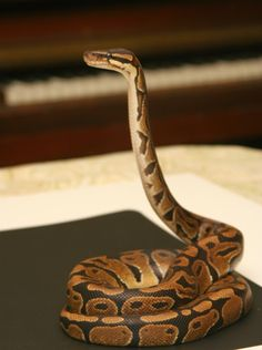 Molly, a normal Ball Python (600g), periscoping in front of a piano.