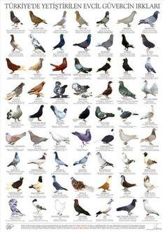 634 Best pigeons images in 2019 | Dove pigeon, Birds, Pigeon loft
