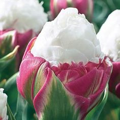 Ice Cream Tulip. The most interesting tulip we have ever seen. Tulip Ice Cream is a blue ribbon winner in any garden display and an exotic-looking variety that you'll enjoy for many years. This bulb is unique and not readily found in markets. Plant in a high traffic area to enjoy as often as possible. Blooms late spring. Photo Credits - Tim van den Berg