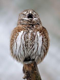 Fed onto Wild but Cute Owl Pictures :) Album in Animals Category Beautiful Owl, Animals Beautiful, Cute Animals, Owl Photos, Owl Pictures, Pretty Birds, Love Birds, Owl Bird, Mundo Animal