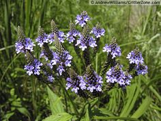 Vervain, Blue (Verbena Hastata) - Associations: Venus, Virgo, Libra, also Diana, Hermes, Medea - There is nothing this herb can't do. Enhances dream Work and visions, great for protection and consecration, known to reverse negative energies both within and without, aides in love magick. An herb of poets, seers, artists and bards, Vervain increases skill and expression through art of any kind.