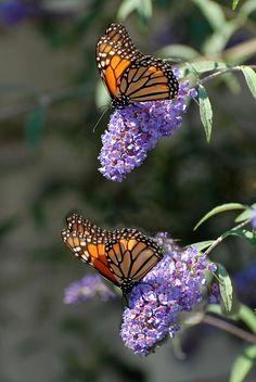 Butterfly 28 Photograph by Joyce StJames Butterfly Bush, Butterfly Kisses, Butterfly Flowers, Monarch Butterfly, Flying Flowers, Butterflies Flying, Beautiful Butterflies, Beautiful Flowers, Gossamer Wings