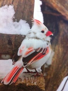 Rare and Beautiful female albino Cardinal by katee