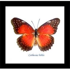 Show details for Cethosia biblis butterfly