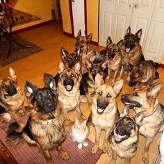 GSDs......& a cat