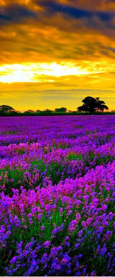 Lavender Fields in Luberon near Mont Ventoux Region - Provence | France