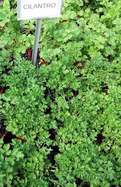 How to Grow Cilantro - and keep it from bolting before you've had a chance to enjoy it.