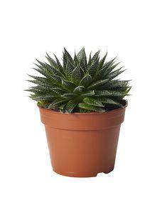 Børstealoe, sukkulent Aloe, Planter Pots, Aloe Vera