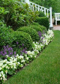 White Wax Begonias  Wax begonias are tender perennials in Zones 8-11 but I grow them as a flower suitable for edging beds in light shade. It has waxy leaves and produces clusters of single or double white flowers. Wax begonias bloom non-stop throughout the entire season until first frost. It looks great with another annual, Purple Angelonia, as I planted here.