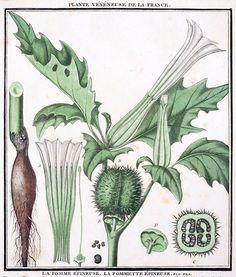 Datura stramonium    From Herbier de la France (Plants of France), 1-48, by Pierre Bulliard, Paris 1780.