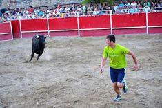 Santacara: Vacas de Vicente Domínguez de Funes - Fiestas de S...