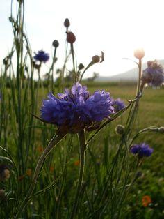 Blue Cornflower, americanmeadows.com