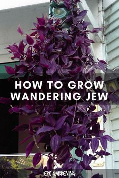 Jew Plant: Care, Types, and Growing Tips The wandering jew plant is not a single plant — it refers to 3 different types of houseplants! Learn how to grow them in this in-depth care guide.Tip Tip commonly refers to: Tip or TIP may also refer to: Types Of Herbs, Types Of Plants, Landscaping Plants, Garden Plants, Gardening Vegetables, Herb Garden, Luxury Landscaping, House Plants Decor, Garden Sofa