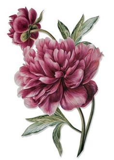 I love the layout of these 2 peonies, might want something similar for my tattoo. I like these petals as well, but the color is a bit too dark. PaperWhimsy :: Hybrid Images-Digital Artists :: View All :: Botanique 14 PNG Illustration Botanique, Illustration Blume, Illustration Flower, Watercolor Illustration, Vintage Botanical Prints, Botanical Drawings, Botanical Flowers, Botanical Art, Flower Prints