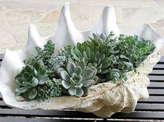 succulents planted in a shellhttp://acultivatednest.com/2014/03/10-beautiful-ways-to-decorate-with-succulents/