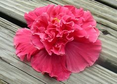 double hibiscus - Google Search