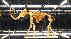 A life-size woolly mammoth skeleton, rendered in 24-karat gold by Damien Hirst