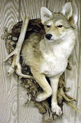 Coyote Coming Out of Den