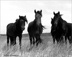 Wild horses of Sable Island, they are so beautiful! Amazing photography :)