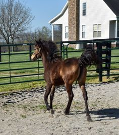 pinterest.com/gaitedmorgans  16 April 2016 http://gaitedmorgans.com  Jellico Farms Naturally Gaited Morgans 502 - 647-1572 gaitedmorgans@jellicofarms.com  Been about a month since posting a head shot of buckskin Gaited Morgan yearling filly  Jellico Sally Mae