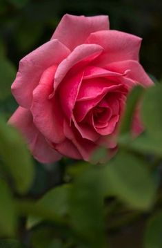 Hybrid Tea Roses, Rare Flowers, Beautiful Roses, Natural World, Mother Nature, Bloom, Plants, Curb Appeal, Allah