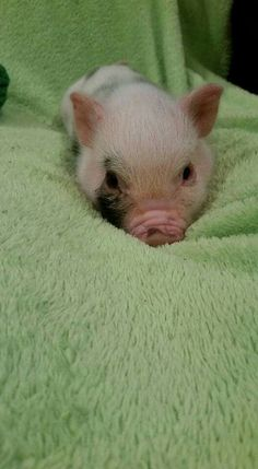 I'm hungry can you bring me food so I don't have to get up Cute Baby Pigs, Baby Animals Super Cute, Cute Piglets, Super Cute Puppies, Cute Little Animals, Cute Funny Animals, Baby Animals Pictures, Cute Animal Photos, Pot Belly Pigs