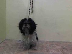 SUPER URGENT 10/15/14 Manhattan Center   JOJO - A1017515  I am an unaltered male, black and white Shih Tzu mix.  The shelter staff think I am about 8 years old.  I weigh 19 pounds.  I was found in NY 10456.  I have been at the shelter since Oct 14, 2014.   https://www.facebook.com/Urgentdeathrowdogs/photos/a.617942388218644.1073741870.152876678058553/888025284543685/?type=3&theater