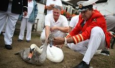 Swan numbers down due to shootings, says Queen's swan marker Annual swan upping census on the Thames finds numbers down and marker blames rise in air rifle attacks and random shootings by vandals