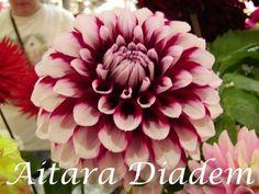 Dahlia 'Aitara Diadem' | Aitara Diadem