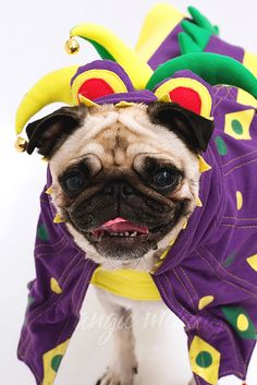♥ Clean pug! Pug Love dog doggie puppy boy girl black fawn funny fat outfit costume