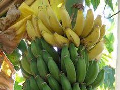 Banana Tree #SandorCityContest #TravelBrilliantly