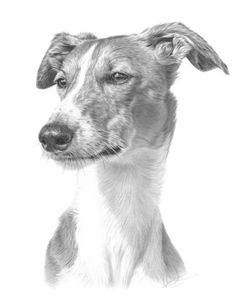 greyhound illustration by nolon stacey