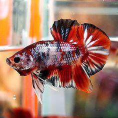 Live Betta Fish Male Fancy Multi-Color Super Koi Galaxy Top Form of HMPK #KG3