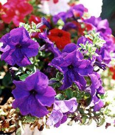 Petunia hybrida*