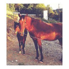 Re stop squishing your pony sister! #horse #horses #horseoftheday #horsesofinstagram #instahorse #instagramhorses #instapet #petsofinstagram #petoftheday #instagrampets #equestrian #equestrianlife #horsebackriding #horseriding #hackney #hackneyhorse #hackneypony #horselove #mylittlepony #ponychild #demonpony #ilovemypony #ilovemyhorse