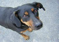 Image result for beauceron