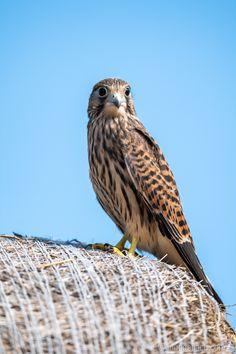 Junger Turmfalke. Owl, Animals, Kestrel, Advertising Photography, Product Photography, Guys, Animales, Animaux, Owls