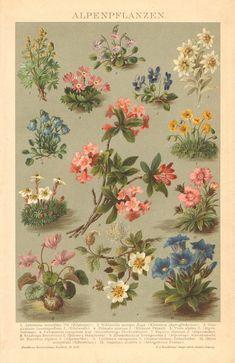Alpine flowers.                                                       …