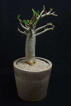 アデニウム ミニバオバブ Adenium socotranum 'Mini Baobab'