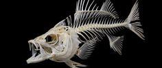 Fish Skeletons | Fishing Fury - A fishing blog with attitude!