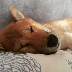 Good night folks  #shibainu #shibalove #shibainulovers #shiba #inu #shibagirl #shibastagram #dogsofinstagram #good #night #kira #piesel #dog #doggy #doge #cute #puppy #柴犬