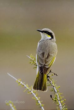 Singing Honeyeater: Lichenostomus virescens, This species is found mostly in open shrublands and low woodlands, especially dominated by acacias, and is widespread on mainland Australia.  By Chris Ross