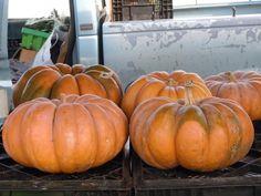 Farmer's market Cindarella pumpkins