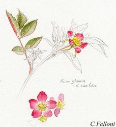 Le blog met en ligne des cours d'aquarelle botanique, il parle de mon activité d'animation de stages d'aquarelle botanique, de mon métier d'illustratrice-nature, de mon intérêt pour la tradition de la peinture naturaliste, les sites naturels,la flore, et la faune sauvage.