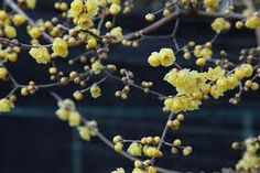 Winter flowering Wintersweet....